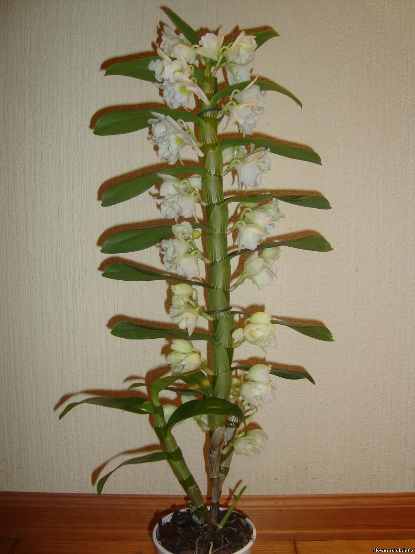 Dendrobium starclass уход в домашних условиях